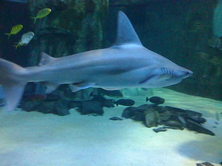A shark in the big tank in the London Aquarium