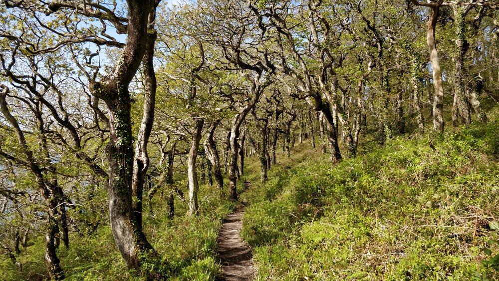 Lawrenny woods